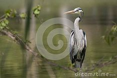 Great Blue Heron standing in green pond water