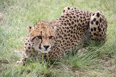 A female cheetah relocated to Gondwana Game Reserve.