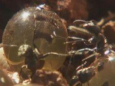Honey Ant 1