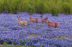 Deer in the bluebonnets at Mule Shoe Bend Park at Lake Travis, photo by David Schroeder via Texas Hill Country Facebook page