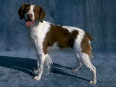 The Brittany is mostly white with orange or liver spots. Brittanys can have spots in combinations of these colors. Some individuals also have black spots but in the United States this is contrary to breed standard. The coat is of moderate length, dense, Brittany Spaniel Puppies, Puppy Pictures, Family Dogs, Best Dogs, Dog Breeds, Cute Dogs, Dogs And Puppies, Cute Animals, Pets