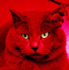 red red cat!