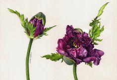 botany watercolor - Bing images