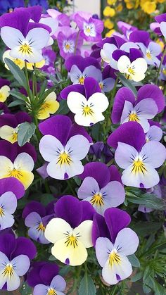 viola Herb Garden, Pansies, Beautiful Flowers, Gardens, Herbs, Animal, Plants, Beauty, Minerals