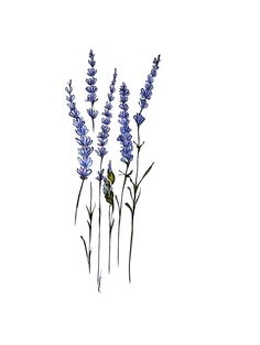 lavender illustration - Buscar con Google                                                                                                                                                                                 More