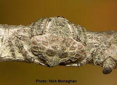 Dolophones sp. spider