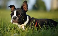 Roscoe the Boston Terrier Pictures 479483