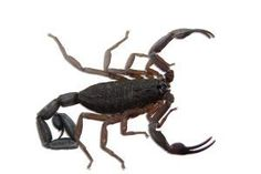 DIY homemade scorpion repellent for homes.