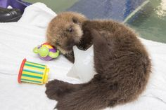 Aquarium rescues orphaned otter pup, teaches it to how to be an otter - The Washington Post