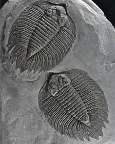 Arctinurus boltoni Trilobite | #Geology #GeologyPage #Trilobite #Fossil Name: Arctinurus boltoni (Bigsby 1825) Age: Lower Silurian Location: Rochester Shale Formation Caleb\'s Quarry Middleport New York U.S.A. Size: 11 cm (top) /11.5 cm (bottom) Photo Copyright American Museum of Natural History Geology Page www.geologypage.com
