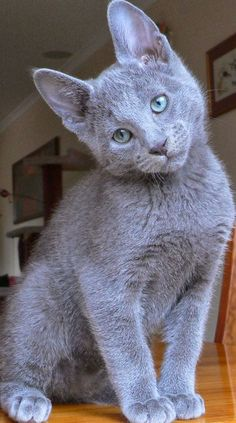 Russian Blue Cat Temperament,Personality and Grooming Click the picture to read