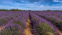 Fields of lavender Riez Provence