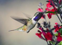 Lucifer Hummingbird,  Ash Canyon B&B,  Huachucha Mtns, Arizona   via Flickr