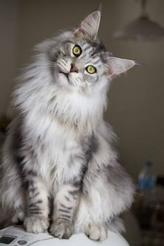 Norwegian Forest Cat | I want a boy! and his name will be Viking....Joshie!!!!