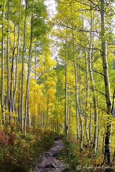 Let's go drifting through the trees... Autumn path, #Colorado