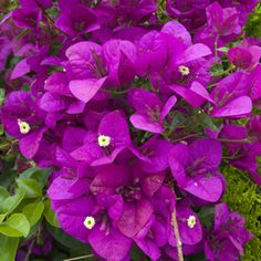 NEW!   Bougainvillea spectabilis x glabra Magnificent deep rich purple bracts make this climber a stunning addition to the garden. Bougainvillea love the sun, these spectacular climbers are evergreen in frost free locations. In cooler temperate climates Bougainvilleas have one long summer flowering season but in warmer climates they will flower throughout the year. They …