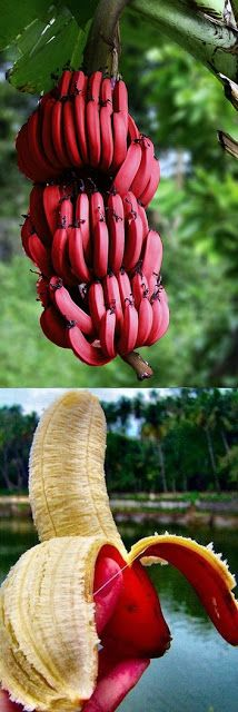 Red Bananas Tree, Alternative Gardening !!!