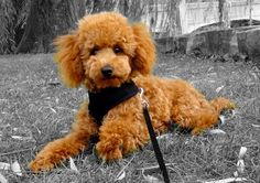 Wyatt red toy poodle.