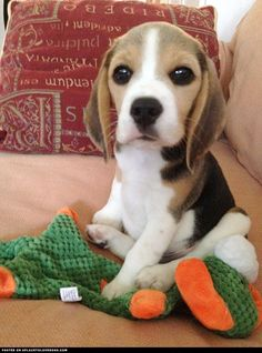 Are you interested in a Beagle? Well, the Beagle is one of the few popular dogs that will adapt much faster to any home. Cute Beagles, Cute Puppies, Dogs And Puppies, Begal Puppies, Small Puppies, Cute Cats And Dogs, I Love Dogs, Pet Dogs, Dog Cat