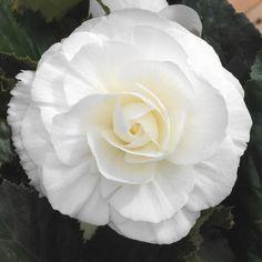 Begonia Non Stop White| Tray of 230 Medium Plug Plants