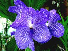 Colorer une orchidée bleue, injections et bistouri, secrets dévoilés !