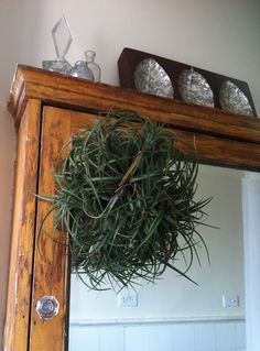 This is a Stricta clump in that lives in my bathroom. Mounted to wood bark. This is the plant that started my infatuation!
