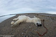 Witnessing Summer Starvation Among Polar Bears (Pics) : TreeHugger