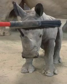 Baby rhino needs a good brushing 🦏 Related posts:Just wanna debut this Video of my cat hitting herself with her tail neue Life hacks für Katzen, die. Cute Little Animals, Cute Funny Animals, Nature Animals, Animals And Pets, Wild Animals, Beautiful Creatures, Animals Beautiful, Baby Rhino, Cute Animal Videos