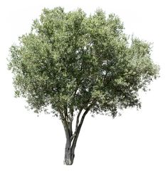 3305 x 3407 pixels PNG image, with transparent background. Olea europaea Olive t. 3305 x 3407 pixels PNG image, with transparent background. Architecture Visualization, Landscape Architecture, Tree Render, Tree Psd, Tree Photoshop, Tree Sketches, Cedar Trees, Tree Illustration, Tree Silhouette