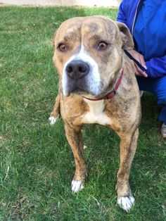 Meet Kenya. This beautiful 2 year old bully mix is great with other dogs and kids. She loves walks, playing, learning new tricks and is just an overall great dog! For more information please email rescue@allvalleyanimal.com, call us at (208) 287-3100 or visit us at our 24 hour facility in meridian!