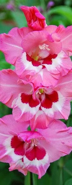 Pink Gladiolus ❤ Pinned by Cindy Vermeulen. Please check out my other 'sexy' boards. X.