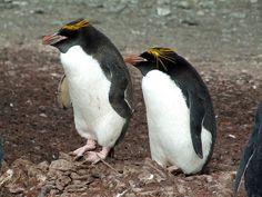 Macaroni penguins, Livingston Is