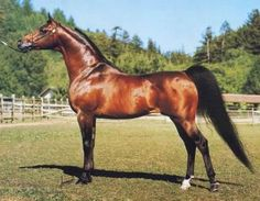 bey shah arabian horse - Learn about #HorseHealth #HorseColic http://www.loveyour.horse