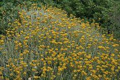 Helichrysum_microphyllum_tyrrhenicum