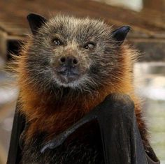 flying fox bat has a wingspan of nearly Animals And Pets, Baby Animals, Funny Animals, Cute Animals, Beautiful Creatures, Animals Beautiful, Bat Species, Mysterious Universe, Baby Bats