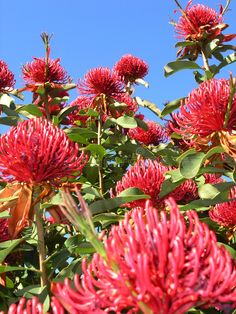 Photo about Australian Waratah tree in flower. Image of south, emblem, vegetation - 36839 Australian Native Garden, Australian Native Flowers, Waratah Flower, Garden Fountains, Fountain Garden, Garden Drawing, Garden Inspiration, Garden Ideas, Flowering Trees