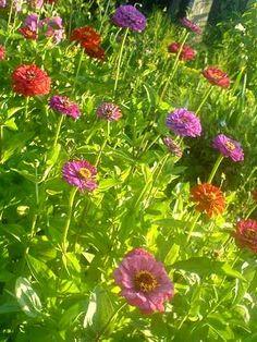 Le zinnia : une profusion de couleurs au jardin : Avec leurs longues tiges fleuries et leur vaste palette de couleurs, les zinnias égaient massifs et jardinières tout au long de l'été. Voici quelques conseils pratiques pour réaliser vos semis de zinnia et pour entretenir cette jolie plante mexicaine.
