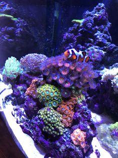 Third run at a reef tank with the same 24 gal nanocube. Saltwater Aquarium Setup, Coral Reef Aquarium, Saltwater Fish Tanks, Marine Aquarium, Nano Reef Tank, Reef Tanks, Coral Life, Cool Fish Tanks, Marine Tank