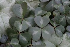 EVERGREEN REDWOOD SORREL- If you are looking for a terrific evergreen groundcover for shade, Oxalis oregana - the evergreen form, not the deciduous form - may fit the bill