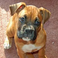 Zoey the Boxer