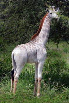 Girafa Branca Rara É Vista Na Tanzânia