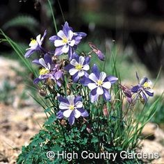 "18"" x 15"" wide, (seed propagated). Rocky Mountain Columbine is the state flower of Colorado, and is treasured for its big blue and white flowers. A must for mountain gardeners, this plant is at its best in cool, higher altitude areas of the West. At lower elevations, place in cool shady beds that receive regular watering. Not recommended for hot , humid climates.Campanula rotundifolia makes a fine companion plant. Zones 3-8. 3"" deep standard pot size."