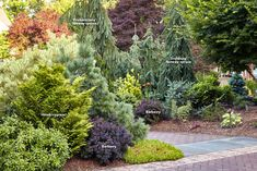 7 ways to use conifers in the garden: Conifers provide the garden with incredible form, color and texture in every season. Learn one expert's secrets to designing with these evergreens. Evergreen Trees Landscaping, Dwarf Evergreen Trees, Evergreen Landscape, Evergreen Garden, Garden Trees, Outdoor Landscaping, Front Yard Landscaping, Outdoor Gardens, Landscaping Plants