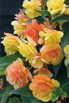 Begonias - I really love these flowers. So beautiful.