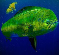 Mahi Mahi, saltwater fishing in the Bahamas