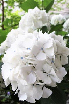 Sister Theresa Hydrangea, white with blue centers