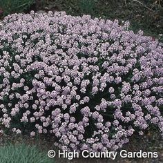 "10"" x 15"" wide (seed propagated). Hundreds of soft pink flower clusters smother this plant in early spring; get close and you will enjoy its intensely sweet fragrance. The tiny leaves are evergreen, and are a distinctive powder blue. When finished blooming, cut back the old flowering stems to just above the new cluster of foliage at the base of the plant. Plant in a lean, fast-draining soil, where Aethionema will spread by reseeding itself. Plant early-blooming, low-growing ""Veronica liwanens..."