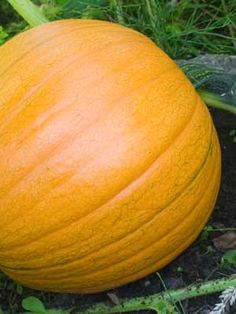 What you need to know about growing pumpkins