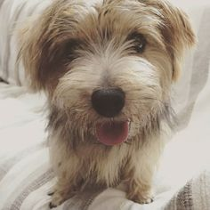 #dog #norfolkterrier #thatface #instadaily #pawstruck #pets_of_instagram #puppylover #excellent_dogs #cachorro #life #dogfeatures #puppylove #bestwoof #dogoftheday #ilovedogs #cutie #doggy #fluffypack #animallovers #dogvacay #animal #dogsofinstagram #petsagram #instaterrier #cutedog