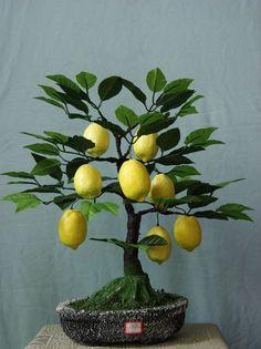 Bonsai Baum / Bonsai Tree + Zitrone / Lemon + Zitrusfrüchte - Zitruspflanzen / Citrus